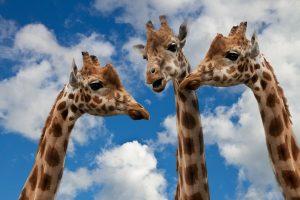 3 Giraffen sehen aus, als unterhielten sie sich. Beispielbild für eine Kommunikation auf Augenhöhe - ganz im Sinne von Inklusion und Barrierefreiheit.